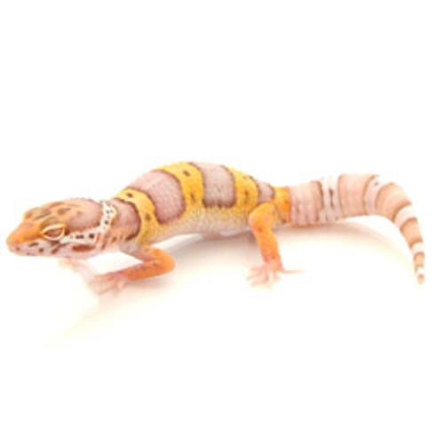 Bell Albino Leopard Gecko (Eublepharis macularius) Juvenile