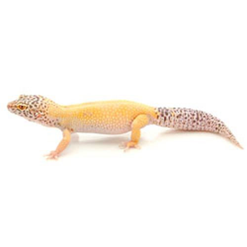 Adult Female Super Bell Albino Enigma (Patternless) Leopard Gecko