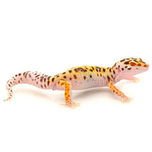 Bell Albino Enigma Leopard Gecko (Eublepharis macularius)