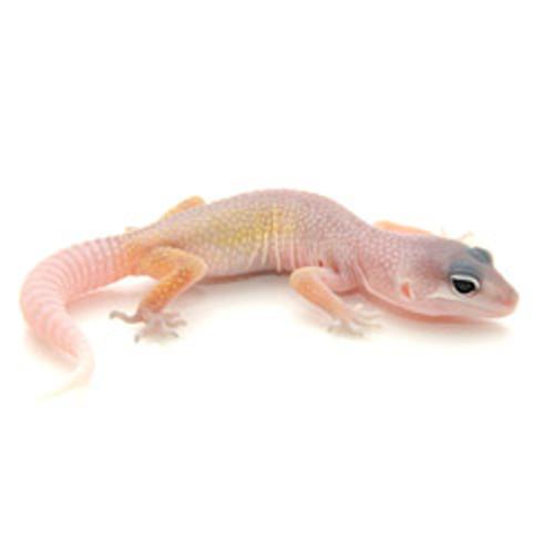 Blizzard Leopard Gecko (Eublepharis macularius)