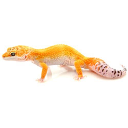 High Colored Leopard Gecko (Eublepharis macularius) Adult