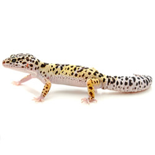 Leopard Gecko (Eublepharis macularius) Adult