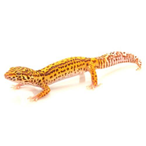 Striped Bell Albino Leopard Gecko (Eublepharis macularius) Adult