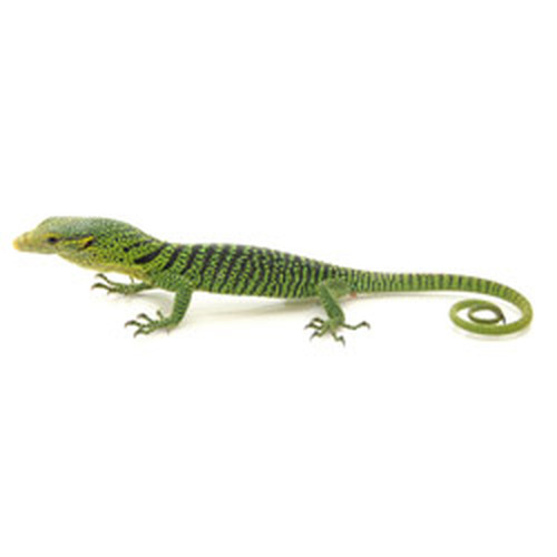 Monitor Lizards for sale | Reptmart