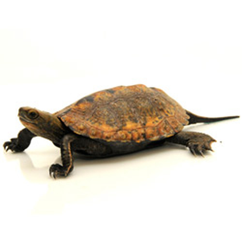 Japanese Pond Turtle (Mauremys japonica)