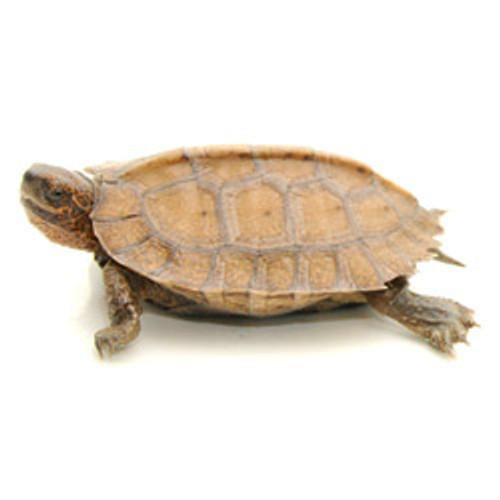 Giant Leaf Turtle (Heosemys grandis)