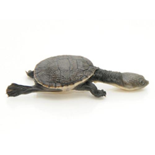 New Guinea Snake Neck Turtle (Macrochelodina rugosa)