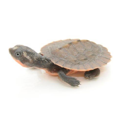 Pink Belly Snapper Turtle (Elseya novaguinea)