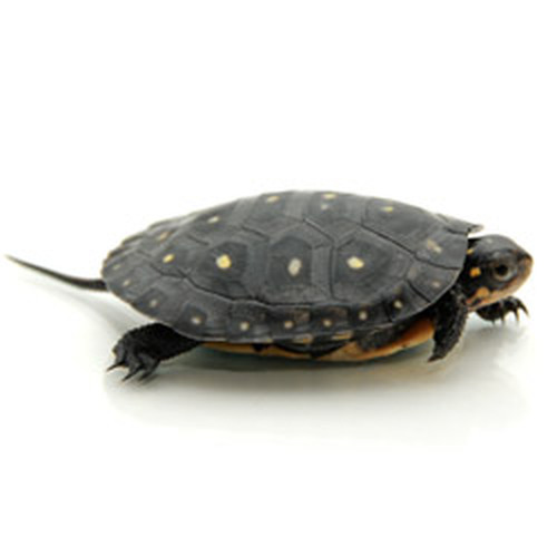 Spotted Turtle (Clemmys guttata)