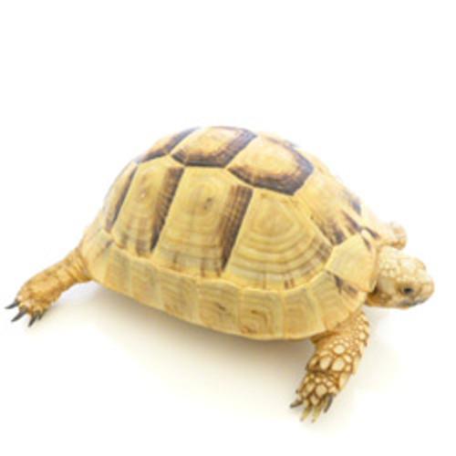Golden Greek Tortoise (Testudo graeca)