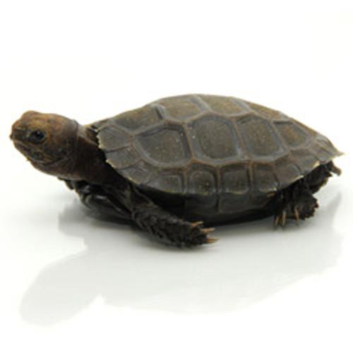 Burmese Mountain Tortoise (Emys emys)