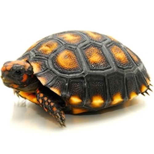 Cherry Head Redfoot Tortoises (Chelonoidis carbonaria)