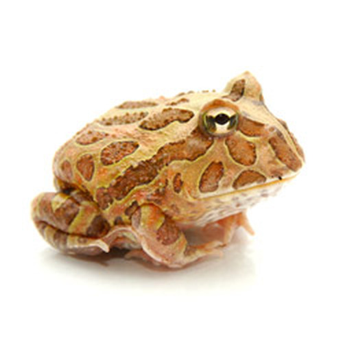 Chocolate Pac Man Frog (Ceratophrys cranwelli)