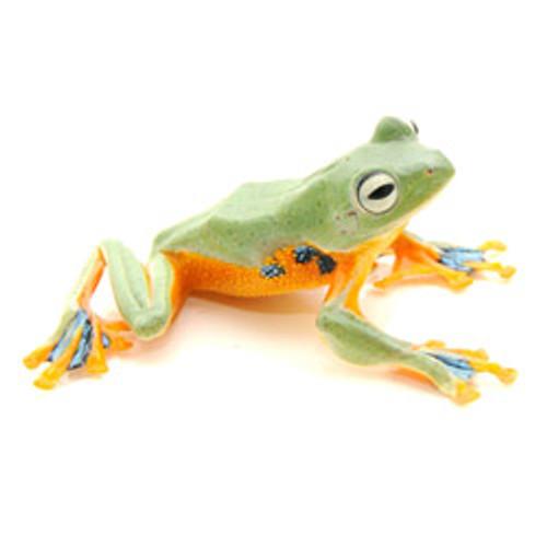 Blue Webbed Glider Tree Frog (Rhacophorus reinwardtii)