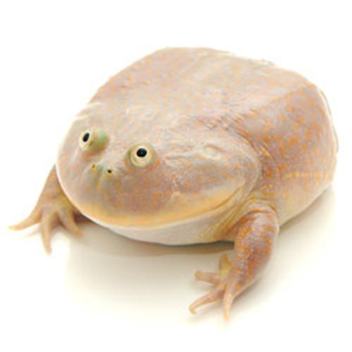 Budgett's Frog (Baby) (Lepidobatrachus laevis)