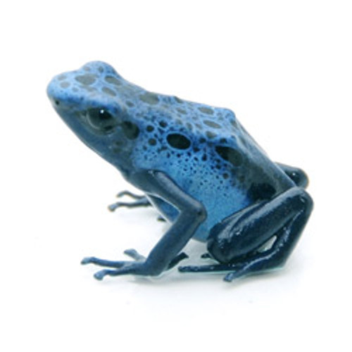 Blue Azureus Dart Frog  (Dendrobates tinctorius)