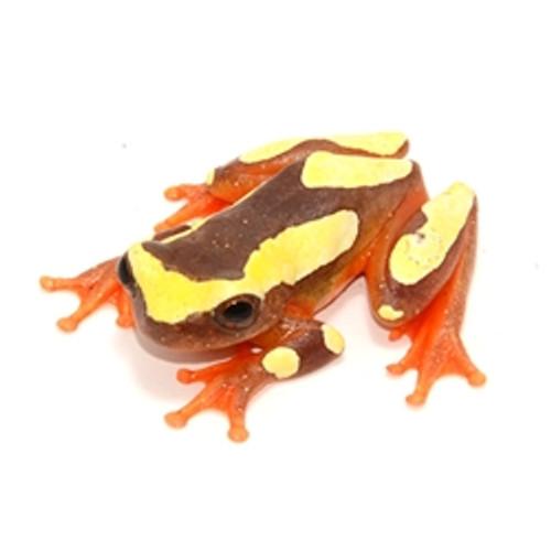 Clown Tree Frog (Hyla leucophyllata)
