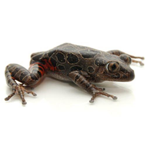 Spotted Tigerleg Frog