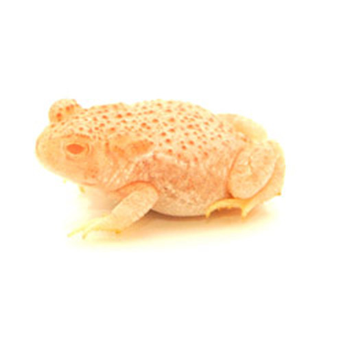 Albino Woodhouse Toad  (Anaxyrus woodhousii)