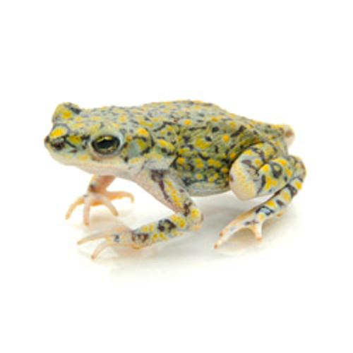Emerald Green Toad (Anaxyrus Debilis )