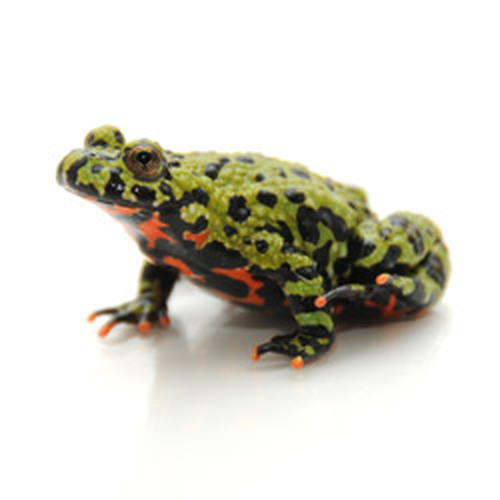 Firebelly Toad (Bombina orientalis)