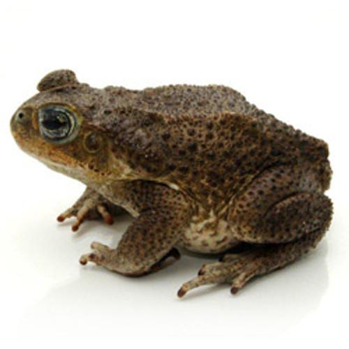 Marine Toad (Rhinella marinus)