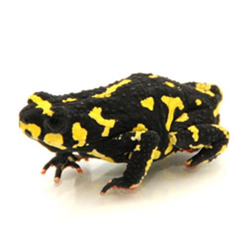 Bumblebee Toad ( Melanophryniscus klappenbachi)