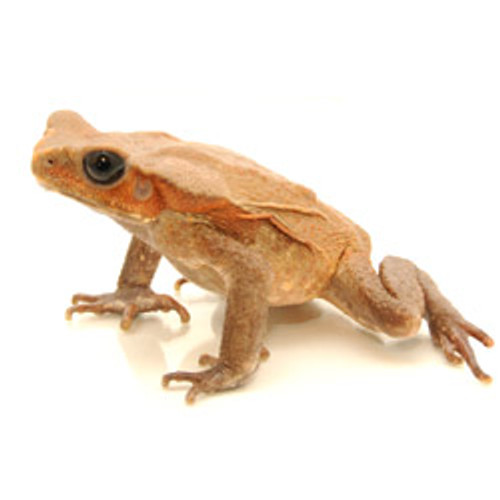 Giant Spotted Toad (Bufo guttata) (Large)