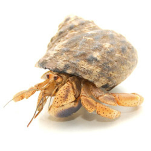 Native Shell Hermit Crab