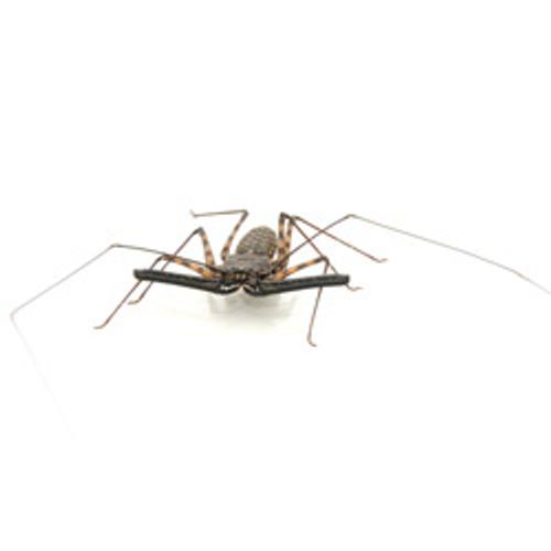 Whip Tail Scorpion