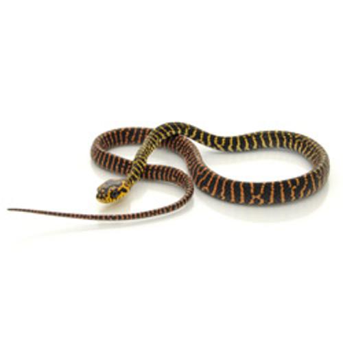 Black Mangrove Snake