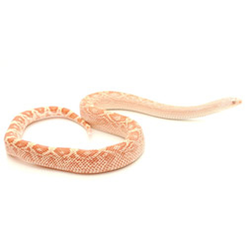Albino Southern Pine Snake (Pituophis melanoleucus)