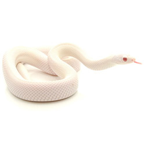 Patternless Snow Southern Pine Snake (Pituophis melanoleucus)