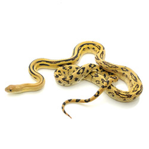 Lined Pine Snake (Pituophis melanoleucus)