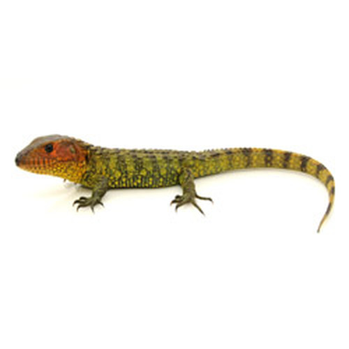 Caiman Lizard (Draecana guianensis)