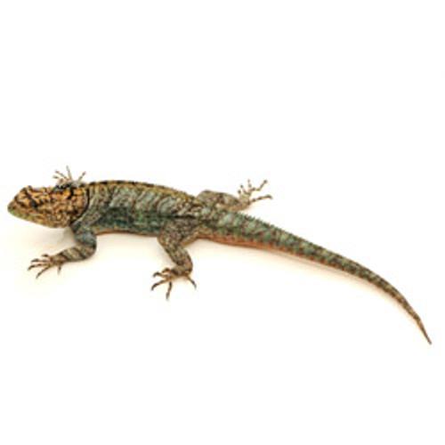 Chaco Spiny Lizard