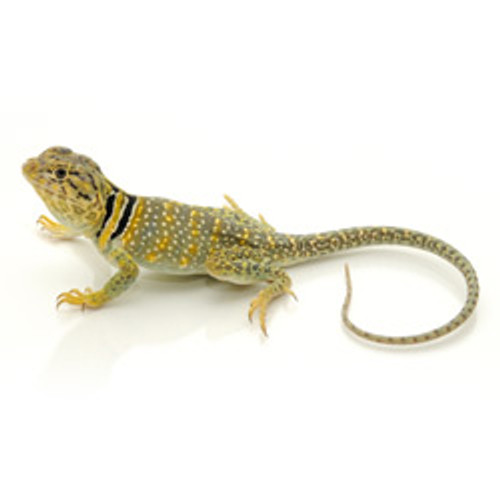 Collard Lizard (Crotaphytus collaris) CAPTIVE BRED