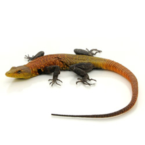 Emperor Flat Rock Lizard (Male)