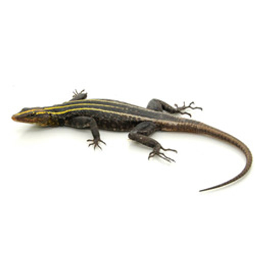 Emperor Flat Rock Lizard (Female)