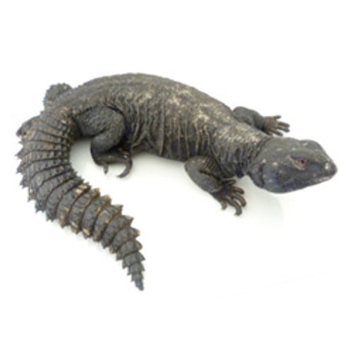 Black Banded Uromastyx(Adult)