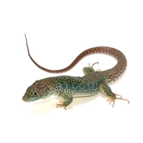 Jeweled Lacerta Lizard