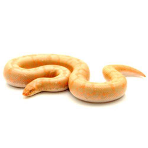 Albino Sand Boa (Baby) (Eryx colubrinus)