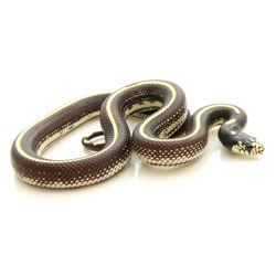 King Snakes for Sale Online | Reptmart