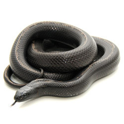 Baja King Snake for sale from ReptMart com