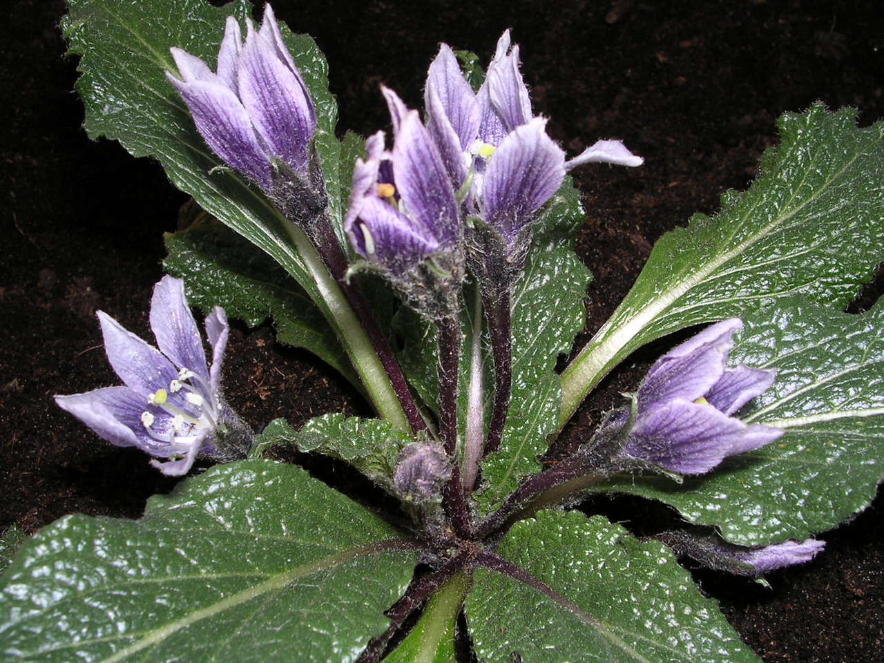 Autumn Mandrake Plant Seeds Sacred Mists Shoppe