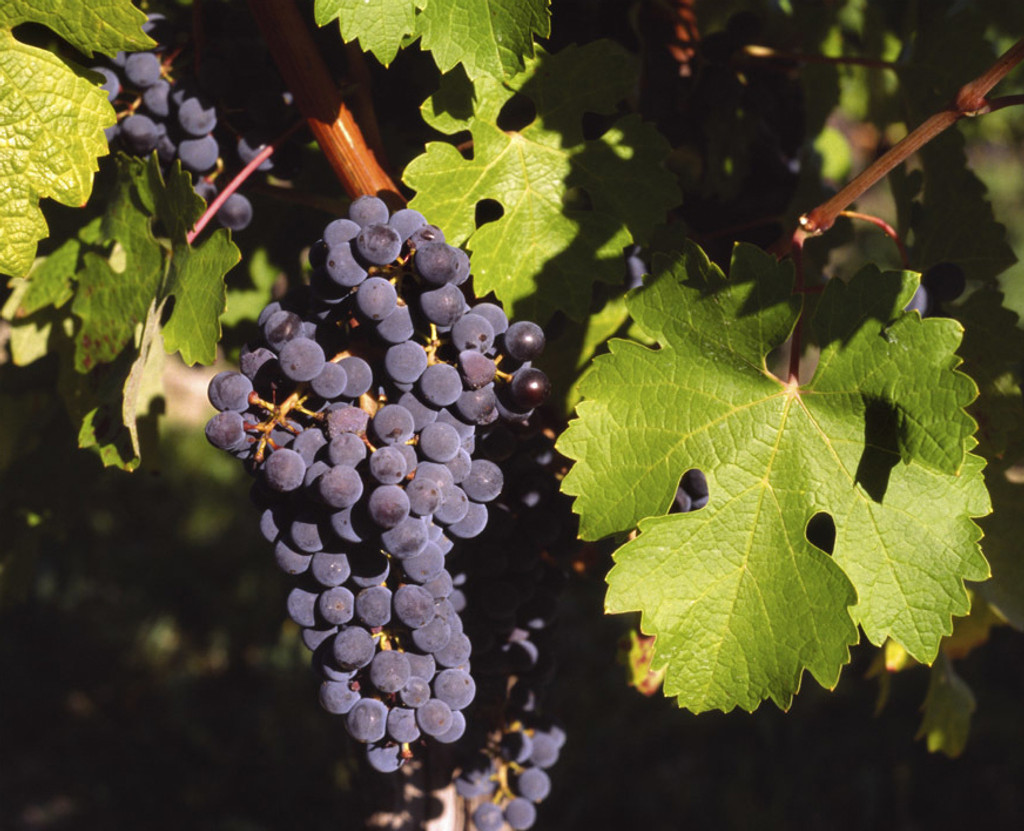 Barbera Grapes