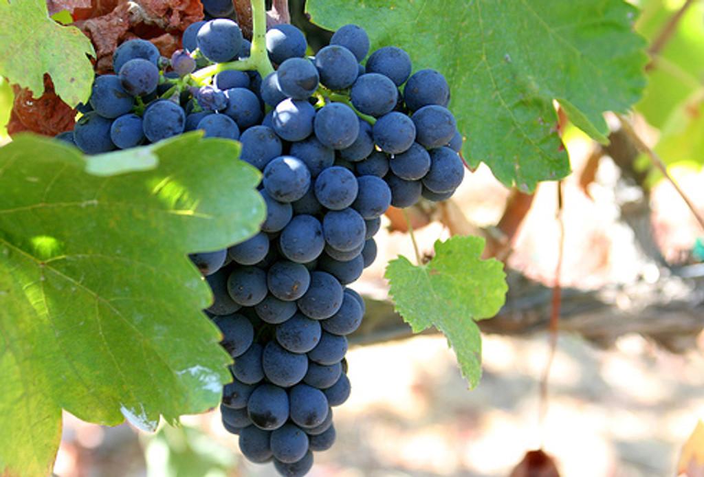 California Syrah-Shiraz Grapes