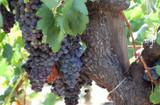California Old Vines Zinfandel Grapes