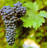 California Petit Verdot Grapes