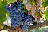 California Grenache Grapes